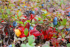 Small bush of ripe bog bilberry in the forest, closeup Stock Photo