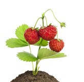 Small bush of strawberries isolated Stock Photography
