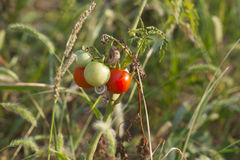 Small Bush tomato with ripe and unripe tomatoes Royalty Free Stock Image