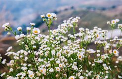 Small bush of wild Daisy flower with soft evening light. In spring time Royalty Free Stock Images