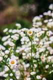 Small bush of wild Daisy flower with soft evening light. In spring time Royalty Free Stock Image