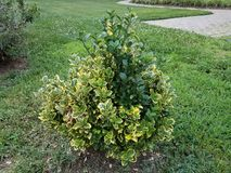 Small bush with yellow and green leaves. And green grass Stock Images