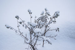 Small bushes are covered fully. With snow Royalty Free Stock Photography