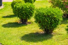 Small bushes on the lawn, horizontal frame. Small bushes on the lawn, tuya bushes, horizontal frame royalty free stock photos