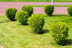 Small bushes on the lawn, tuya bushes. Horizontal frame royalty free stock images