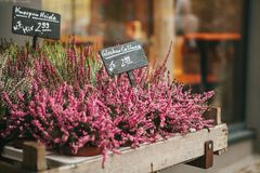 A small business for selling flowers in a German city. Beautiful pink and purple flowers knospenheide and calluna royalty free stock photos