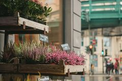 A small business for selling flowers in a German city. Beautiful pink and purple flowers knospenheide and calluna royalty free stock images