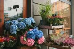 A small business for selling flowers in a German city. Beautiful pink and purple flowers knospenheide and calluna stock photo