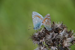 Small butterflies on dried cardo plant Royalty Free Stock Photography