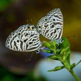 Small butterflies Stock Photos