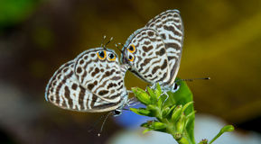 Small butterflies Royalty Free Stock Photography