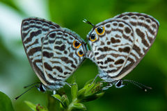 Small butterflies Royalty Free Stock Photo