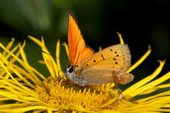 Small butterfly. On a flower, 100mm macro and ring flash Stock Photography