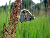 Small butterfly. Beautiful blue butterfly sits on the stalk, it is on background of field Stock Images