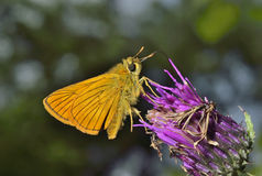 Small butterfly (Augeades) 12 Stock Images