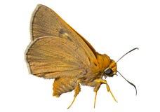 Small butterfly (Augeades) 3 Stock Photos