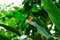 Small butterfly on big leaves. Thailand Royalty Free Stock Photo