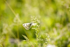 Small butterfly on a blade of grass. 