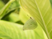 Small Butterfly Camouflage under The leaf. The Small Butterfly Camouflage under The leaf,Wings same Color as The Leaf Stock Image