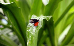 Small butterfly on a dew petal. Small butterfly sitting on a green petal and drinking the dew Royalty Free Stock Photos