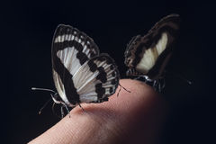 Small butterfly on a finger. Macro small black&white butterfly on a finger (Dof-of-field Stock Images