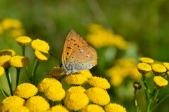 Small butterfly on flower Royalty Free Stock Images