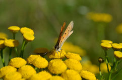 Small butterfly on flower Royalty Free Stock Photo