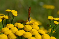 Small butterfly on flower Stock Image
