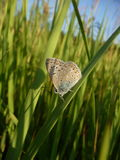 Small butterfly on grass Royalty Free Stock Images