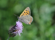 Small Butterfly (Lycaena Phlaeas) Royalty Free Stock Photos