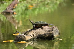 Small butterfly on the nose of the turtle. The turtle was sunbat Stock Photos
