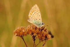 Sleeping butterfly sitting on dry grass illuminated by sunset - closeup royalty free stock image