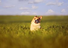 Small butterfly sat on the head of a funny little red dog puppy Corgi on a green meadow in the grass on a Sunny spring day. Butterfly sat on the head of a funny royalty free stock image