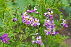 Small butterfly, Schizanthus pinnatus Stock Photography