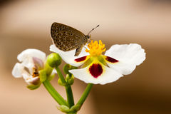 Small butterfly seeking nectar on pollen. Small brown butterfly seeking nectar on a yellow pollen in white flower stock photos