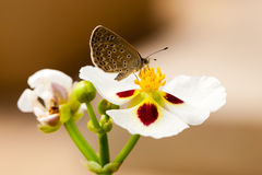 Small butterfly seeking nectar on pollen. Small brown butterfly seeking nectar on a yellow pollen in white flower royalty free stock photo