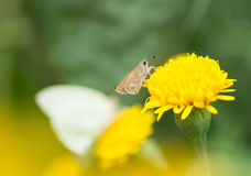 Small butterfly sucking nectar from flowers Royalty Free Stock Photo