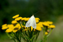 Small butterfly Royalty Free Stock Image