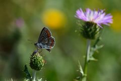 Small butterfly on wild thistle Stock Photos