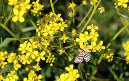 Little butterfly on yellow flowers royalty free stock images