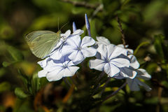 Small Cabbage White Butterfly. Adult Small Cabbage White Butterfly Feeding On Plumbago Flowers Stock Photos