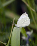 Small cabbage white Royalty Free Stock Images