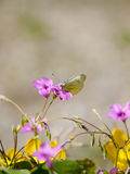 A Small Cabbage White eating nector Royalty Free Stock Photo