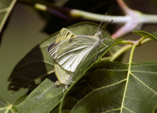 Small cabbage white mating Stock Photography