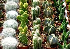 Small cacti. Small colorful cactuses on market for sale Royalty Free Stock Image