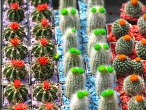 Small cacti. Small colorful cacti with flowers on market for sale Royalty Free Stock Photography