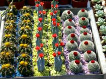 Small cacti. Small colorful cacti with flowerson market for sale Stock Photo