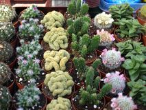 Small cacti. Various small cacti exhibited at the fair for sale Stock Photos