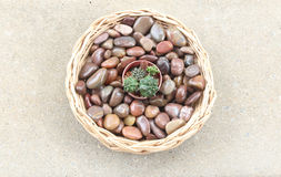 Small cactus in a basket. On cement floor Royalty Free Stock Photo
