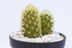 Small cactus in black plastic pot Royalty Free Stock Images